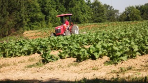 Tobacco crops on the homestead