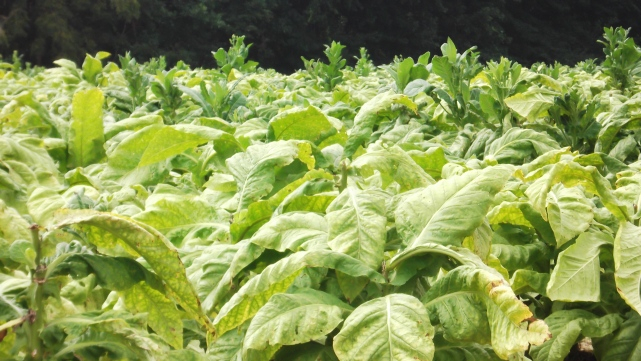 Tobacco on the Homestead